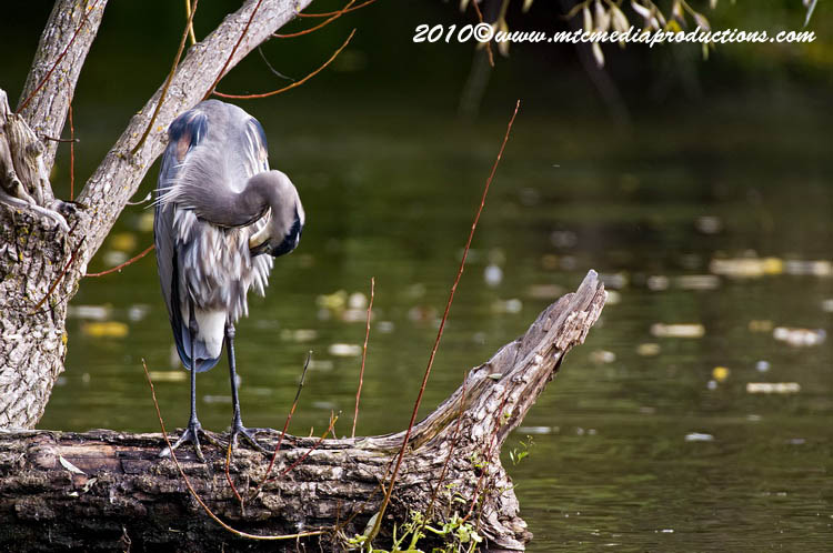 Blue Heron Picture-797