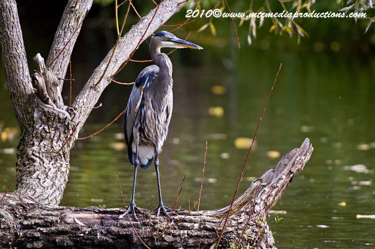 Blue Heron Picture-798
