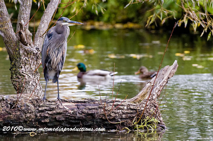 Blue Heron Picture-799