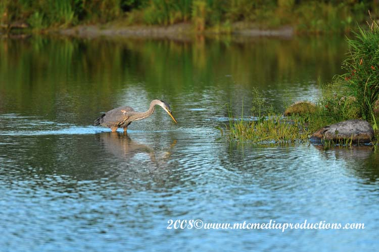 Blue Heron Picture-80