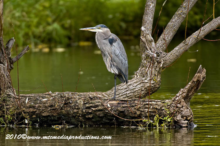 Blue Heron Picture-800