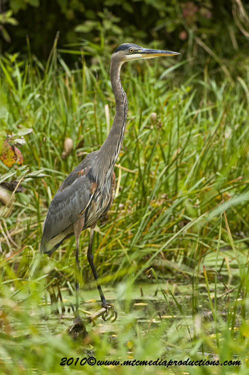Blue Heron Picture-801