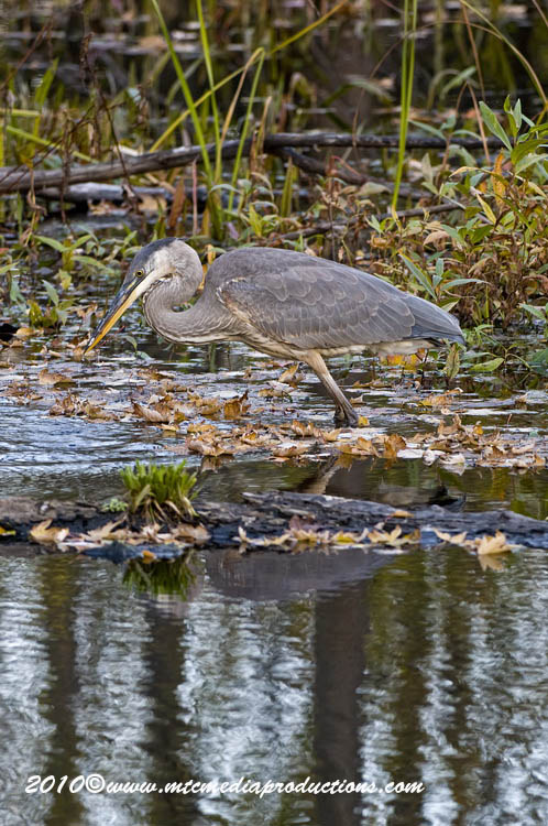 Blue Heron Picture-803