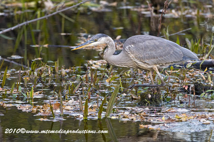 Blue Heron Picture-804