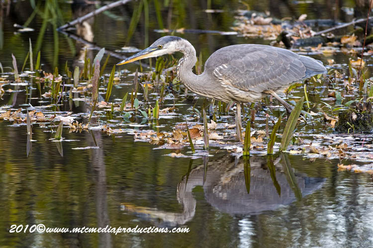 Blue Heron Picture-805