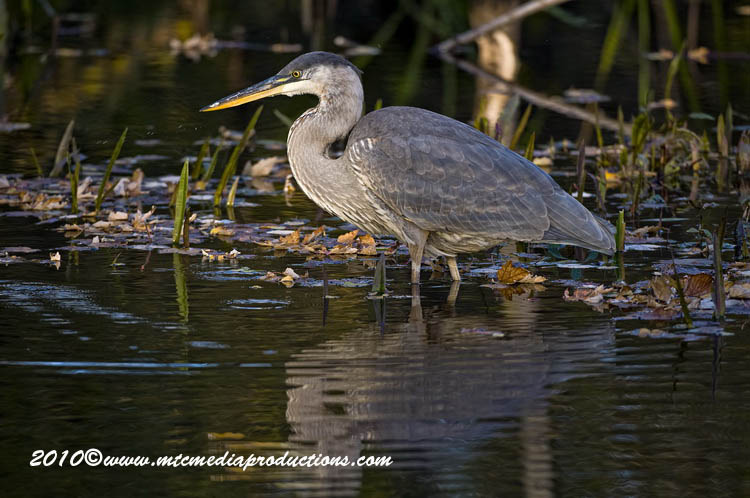 Blue Heron Picture-806
