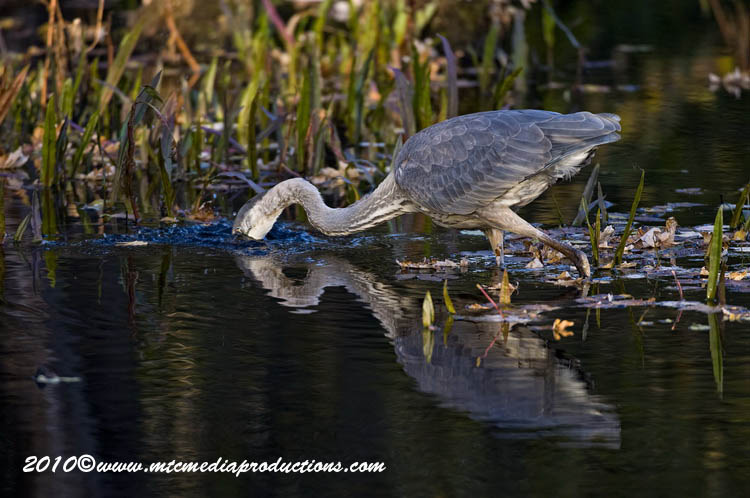 Blue Heron Picture-807