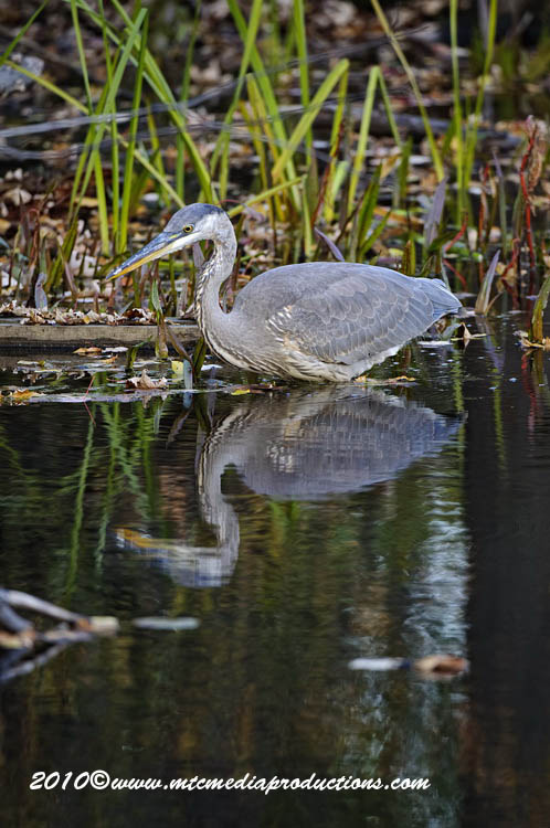 Blue Heron Picture-808