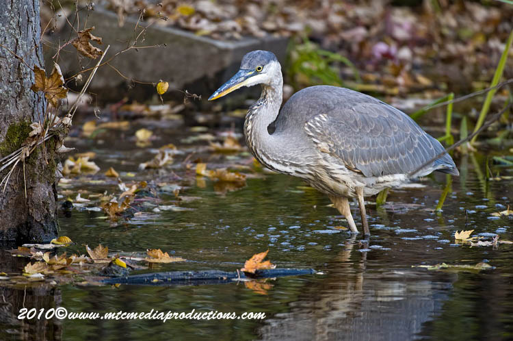 Blue Heron Picture-809