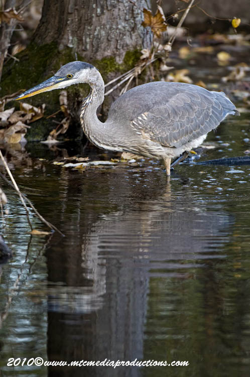 Blue Heron Picture-810