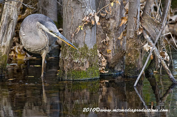 Blue Heron Picture-812
