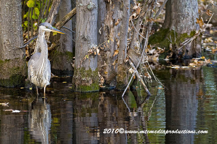 Blue Heron Picture-814