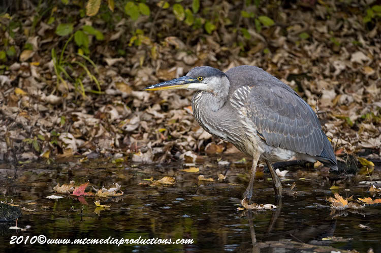 Blue Heron Picture-815