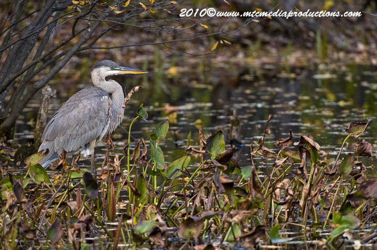 Blue Heron Picture-816