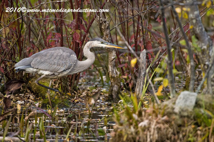 Blue Heron Picture-817