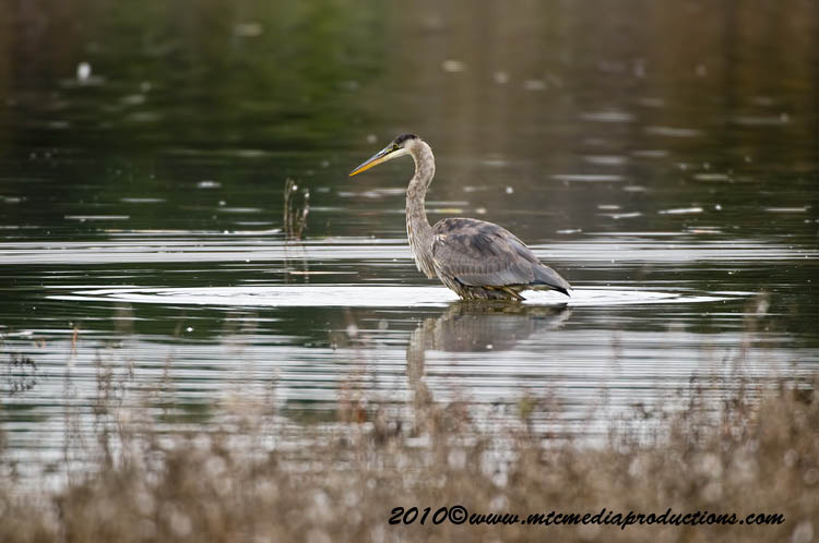 Blue Heron Picture-818
