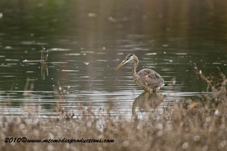 Blue Heron Picture-819