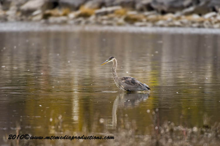 Blue Heron Picture-820