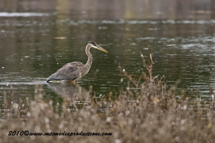 Blue Heron Picture-821