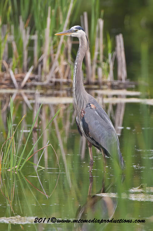 Blue Heron Picture-822