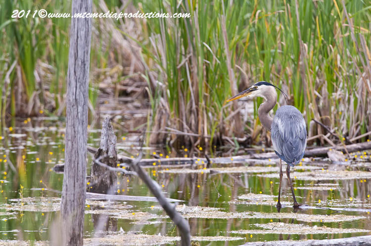 Blue Heron Picture-824