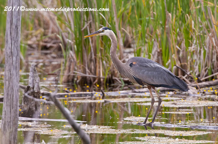 Blue Heron Picture-825