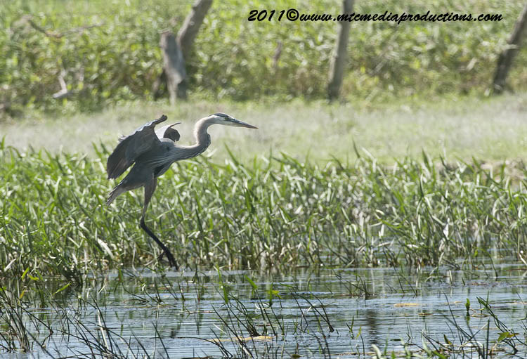 Blue Heron Picture-827