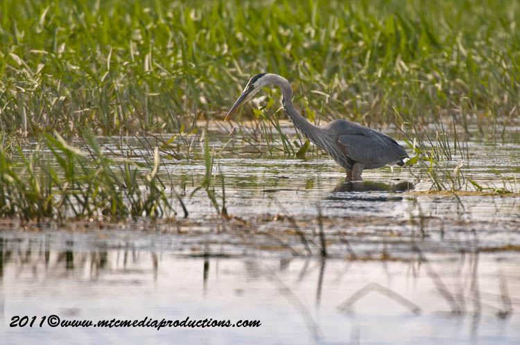 Blue Heron Picture-828