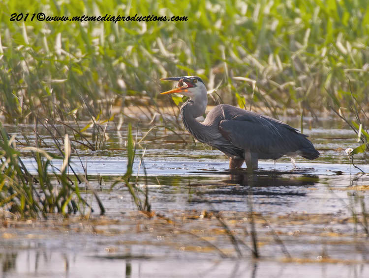Blue Heron Picture-829