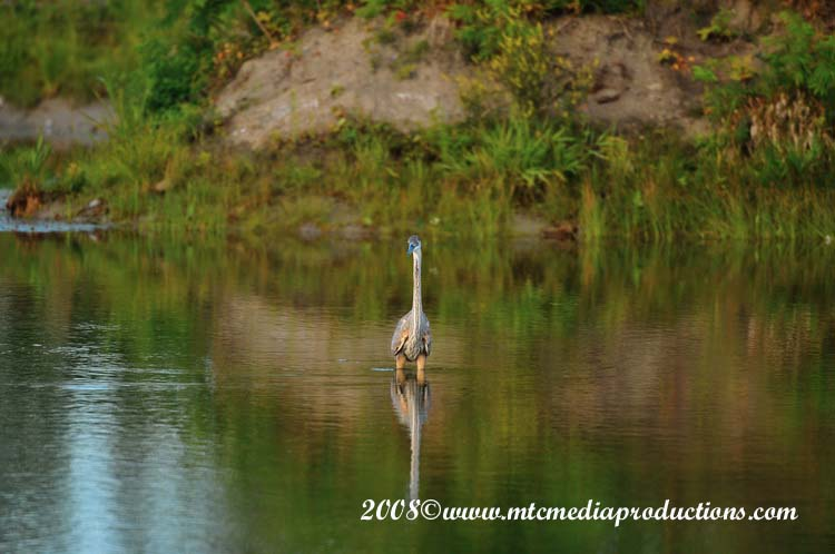 Blue Heron Picture-83
