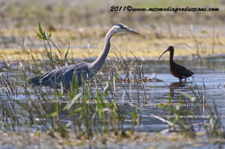 Blue Heron Picture-830