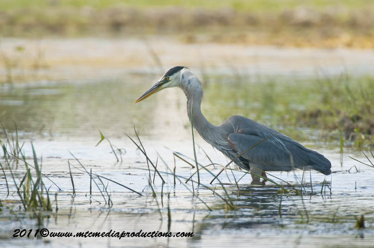 Blue Heron Picture-831