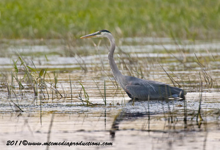 Blue Heron Picture-832