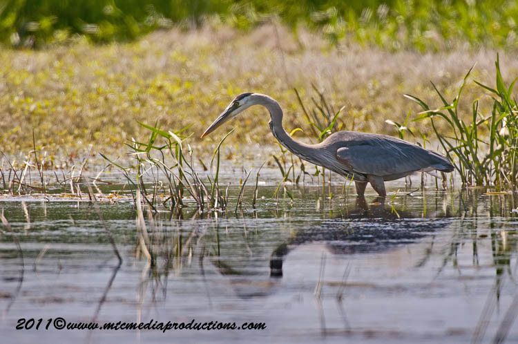 Blue Heron Picture-833