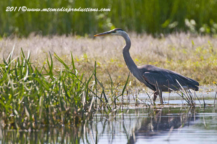 Blue Heron Picture-834