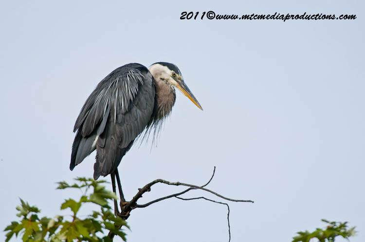 Blue Heron Picture-835