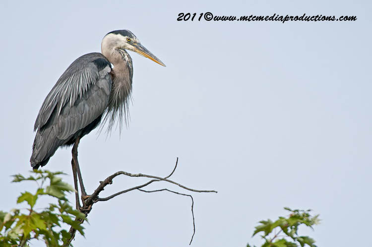 Blue Heron Picture-836