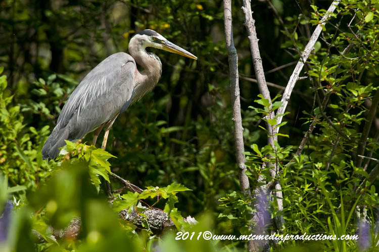 Blue Heron Picture-837