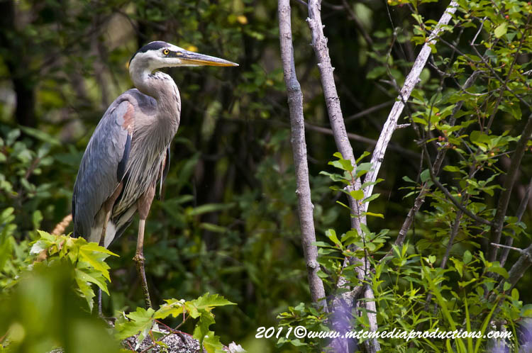 Blue Heron Picture-838