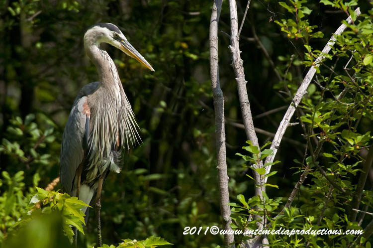 Blue Heron Picture-839