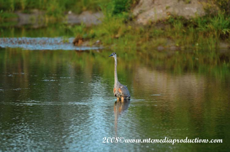 Blue Heron Picture-84