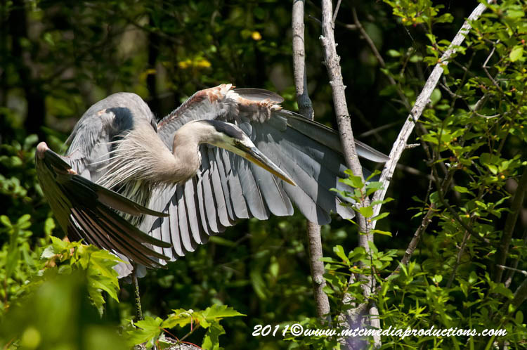 Blue Heron Picture-840