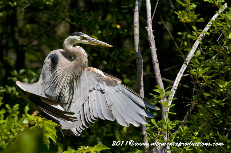 Blue Heron Picture-841