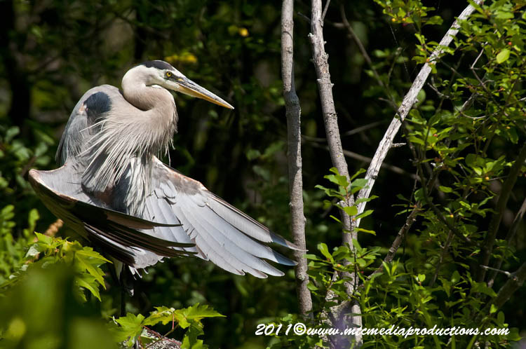 Blue Heron Picture-842