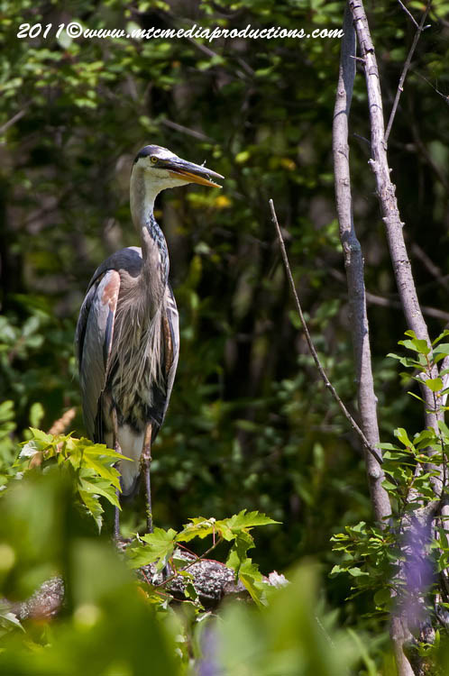 Blue Heron Picture-843