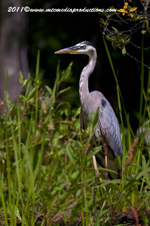 Blue Heron Picture-844