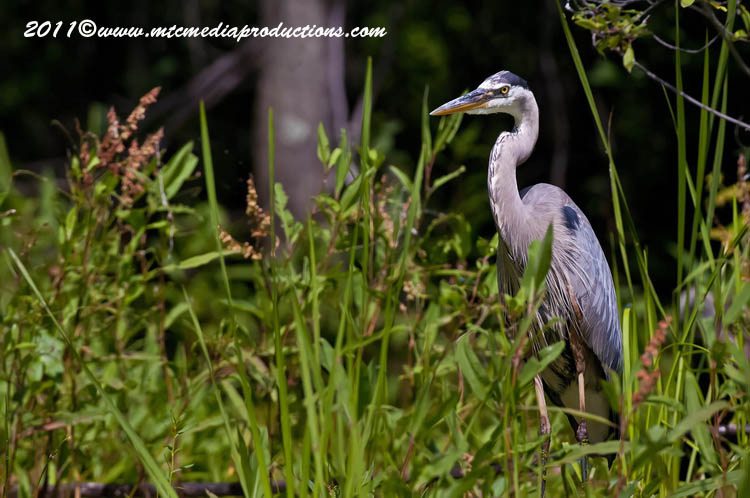 Blue Heron Picture-845