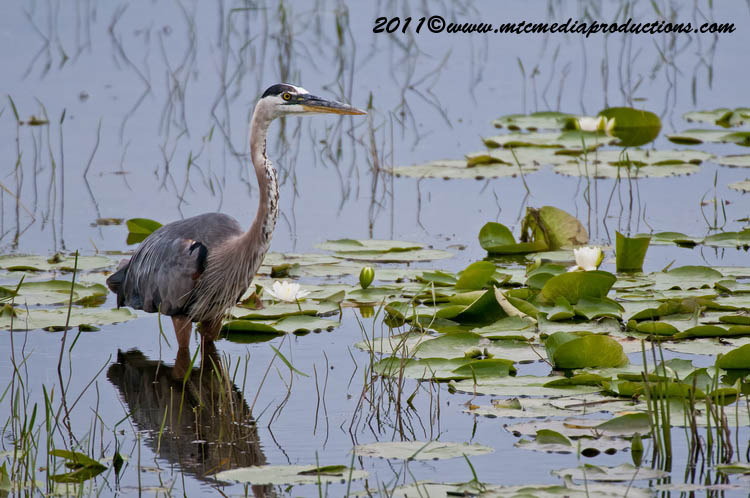 Blue Heron Picture-846