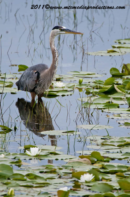 Blue Heron Picture-847