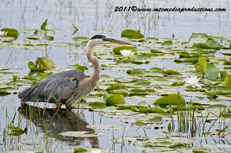 Blue Heron Picture-848